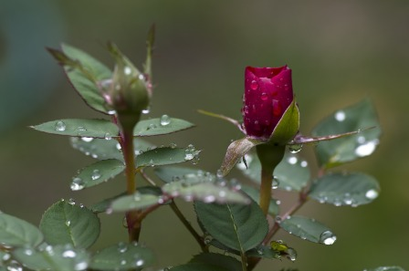 Photo_raindrops_on_rose