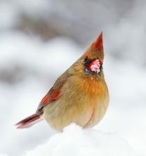 photos_cardinal_bird_snow