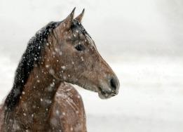 photos_snow_horse