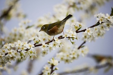 Photos_bird_blossom