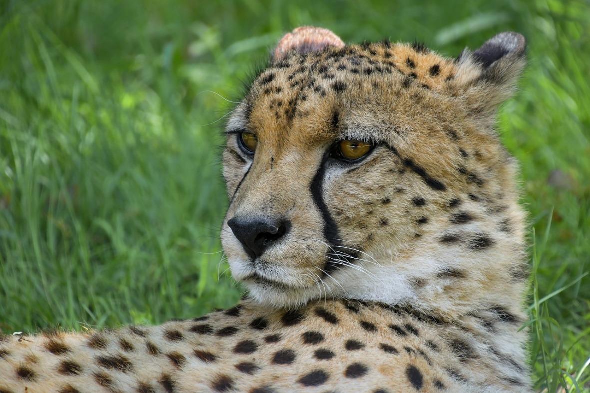 Facebook Cheetah